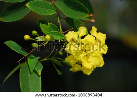Free photos yellow flower 5 petals avopix stigmaphyllon ellipticum creeper trunk stalk bushes branches flowers are covered in mightylinksfo