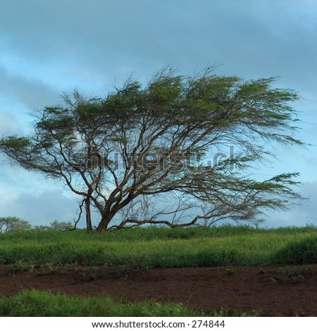 """STOCK - A tree bent over by strong winds, Molokai, Kauai, Hawaii, February 2004 (Keith Levit)"""