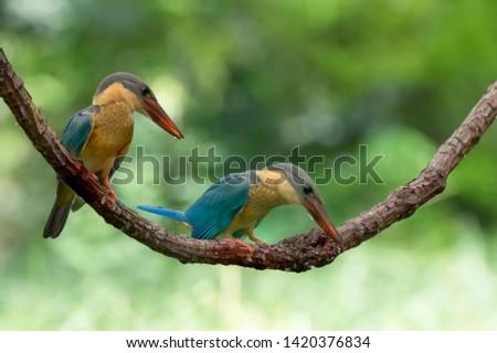 (Stork-billed Kingfisher) Beautiful bird perching on the branch. (Stork-billed Kingfisher) Beautiful bird perching