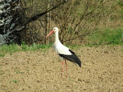 Storks as a herald of spring in Serbia, Vojvodina province