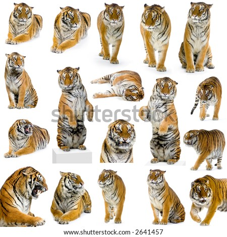 18 studio Shots of tiger in different position, isolated on a white background. All my pictures are taken in a photo studio