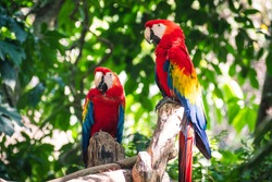 2 stunning scarlet macaw parrot with beautiful rainbow feathers perched on a branch in the middle of the jungle on a sunny day.