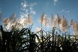 Sugar cane flower Sunrise,Beauty blue sky and clouds in daytime in Thailand