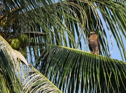 Sulawesi Serpent Eagle (Spilornis rufipectus) in Sulawesi. Sitting in a tall palm tree.