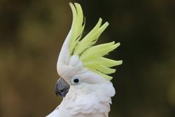 sulphur crested cockatoo (Cacatua galerita) closeup view