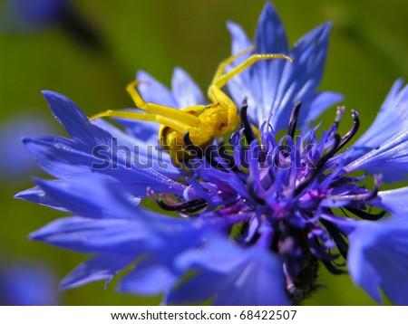 summer  blue cornflower with goldenrod crab spider