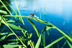 Summer is the sea, dragonflies, warmth and sun. Dragonflies - a symbol of summer in the village.