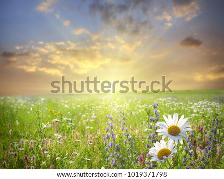 Summer landscape with green grass and  daisy field