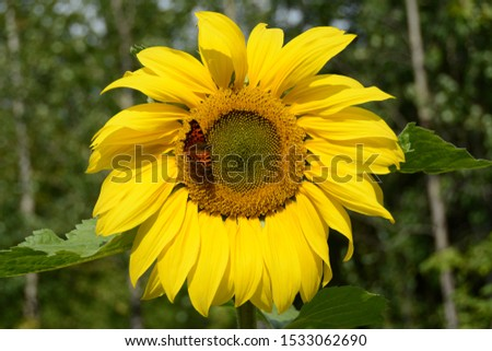 Sunflower and butterfly. Summer mood. Natural background. Still life of flowers