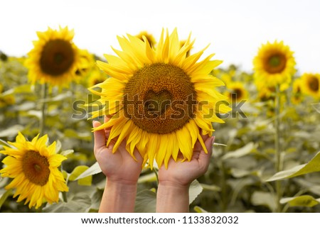 Sunflower closeup. Heart in a flower. Sunflower flower in the shape of heart. Field with sunflowers. Advertising banner. Advertising sunflower seeds and oil.Sunflower in the hands.