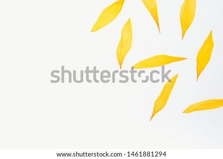 sunflower petals, sunflower petals on a white background, dried sunflower petals, yellow petals, herbarium #1461881294