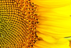 Sunflower texture and background. Texture of sunflower pollen. Macro view of abstract nature texture and Organic pattern. Sunflower in bloom. Sunflower close up. Bright yellow sunflowers.