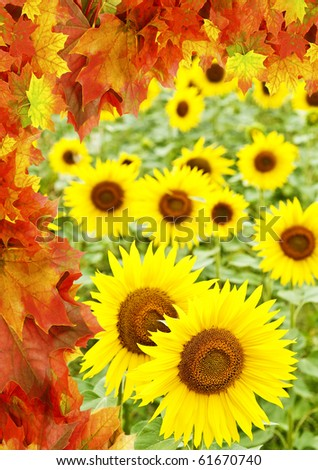 sunflowers field and fall frame