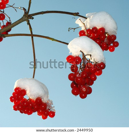 Sunny day. The snow has dropped out. The beginning of winter.  Berry  guelder-rose red.