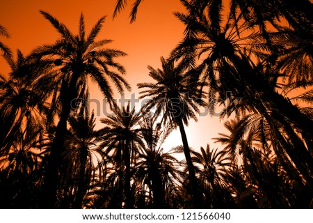 Sunset in dates palm forest. Sunset with palm date trees in the largest oasis of Tozeur in Tunisia