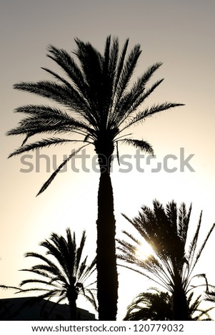 Sunset with palm tree.  	Silhouette of palm date trees at sunset