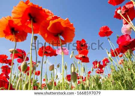 Photo of   Superb view with poppies blooming all over