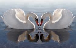 Swan`s heart.
