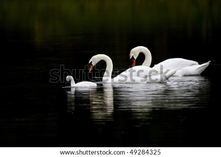 """""""Swan Serenity"""" - A beautiful swan family (Cob, Pen and Cygnet) glide along on the serene surface of Henry's pond in the early morning in Rockport, Massachusetts."""