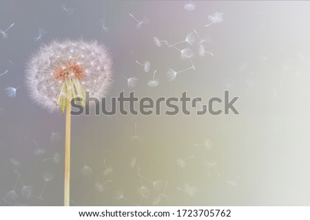 sweet and delicate image of a dandelion flower caressed by wind  Photo stock ©