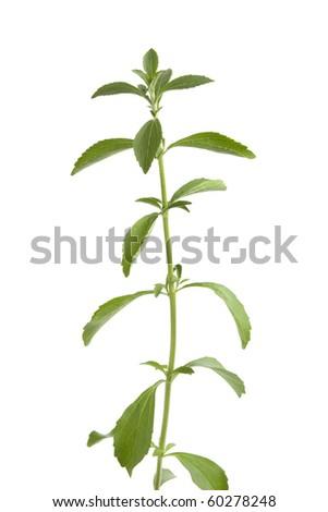 Sweet leaf Stevia on white background