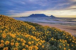 Table Mountain. During Spring flowers can be seen along the coastline Cape Town, South Africa. Color photo.