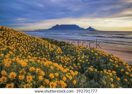 Table Mountain. During Spring flowers can be seen along the coastline Cape Town, South Africa. Color photo.  #392701777