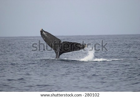 """Tail of a whale in the sea, Maui, Hawaii, (Keith Levit)"""