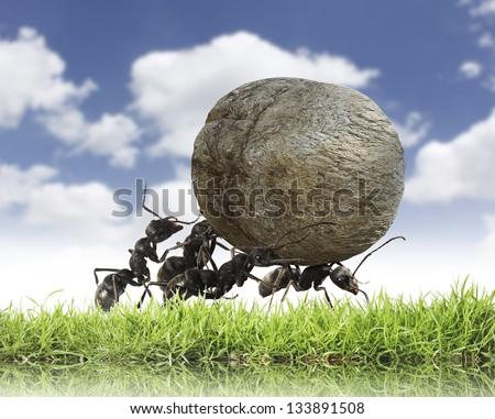 Teamwork ,Team Of Ants Rolls Stone Uphill