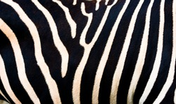 Texture of the natural skin of a zebra. Zebra background, black and white stripes. Zebra skin pattern, close-up.