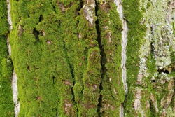 Texture with green moss, on tree bark