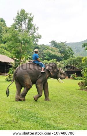 Thai elephant walk in grassland