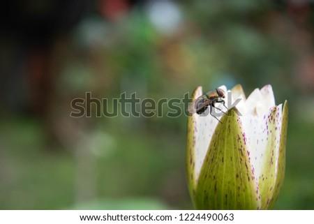 ็Thai housefly on lotus flower. The concept of bad thing on good thing. #1224490063
