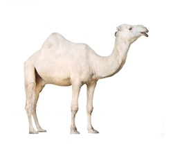 The Arabian camel or The Dromedary (Camelus dromedarius) isolated on white background.