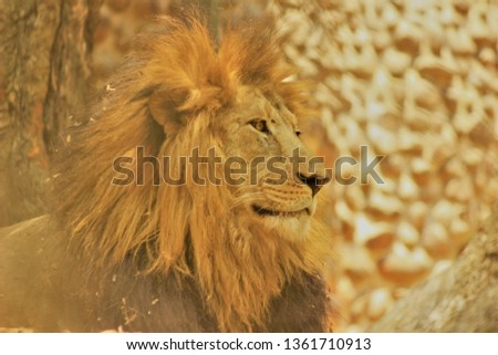 'The Asiatic Lion' This picture portraits the calmness and gentle look of the deadly predator . The picture was taken in Grasslands where this ferocious beast was patiently waiting to hunt and feast.