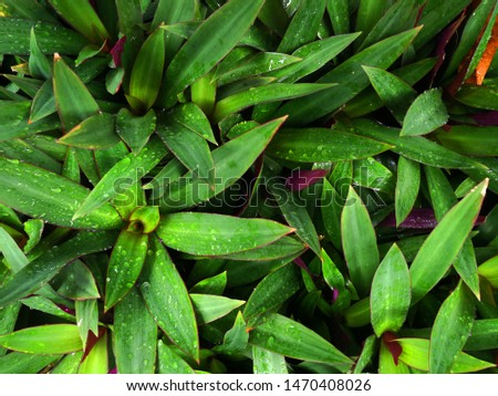 The background of the leaves of dark green and purple leaves behind the leaves  With dew on the leaves
