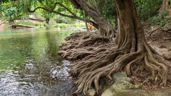 The base of the tree in the riparian forest at Thailand. Tree root ground view.