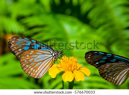 THE BLUE GLASSY TIGER BUTTERFLY HOLDING ON YELLOW FLOWER IN SUNNY DAY , BLURRY GREEN LEAVES BACKGROUND #576670033