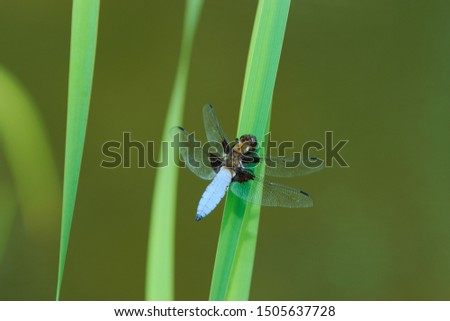 The broad-bodied chaser or broad-bodied darter