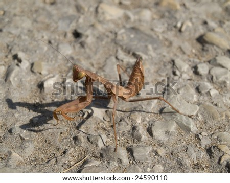 the brown mantis is on the road #24590110