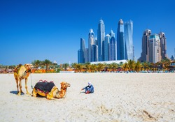 The camels on famous Jumeirah beach and skyscrapers in the backround, Dubai, United Arab Emirates