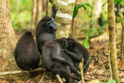 The Celebes crested macaque (Macaca nigra), also known as the crested black macaque, Sulawesi crested macaque, or the black ape, is an Old World monkey that lives in the Tangkoko reserve.
