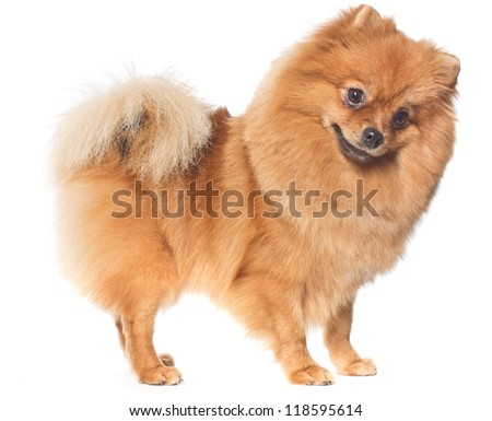 The curious spitz-dog costs on a white background