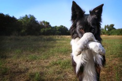The dog is ashamed. Border collie covers his nose with his paw.