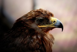 The eagle is a bird of prey in the hawk family. It is a large bird. A massive beak and sharp claws are the main weapons of this predator.