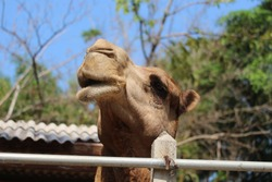 The face of a camel in the zoo is full of nature.