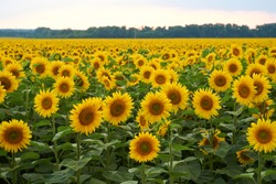 The field of the  big sunflowers