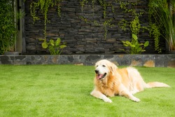 The Golden Receiver dog is lying on the lawn