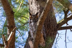 The great horned owl (Bubo virginianus) hidden in the crowns of a tree.
