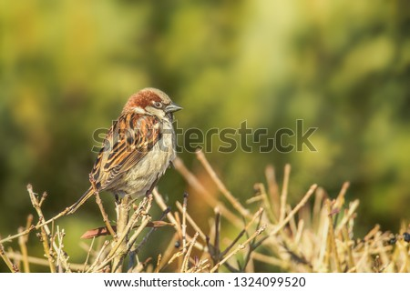 The house sparrow - also called Sparrow or Hausspatz - is a bird species from the family of sparrows and one of the most famous and widely used songbirds. Concept: birds or animals #1324099520